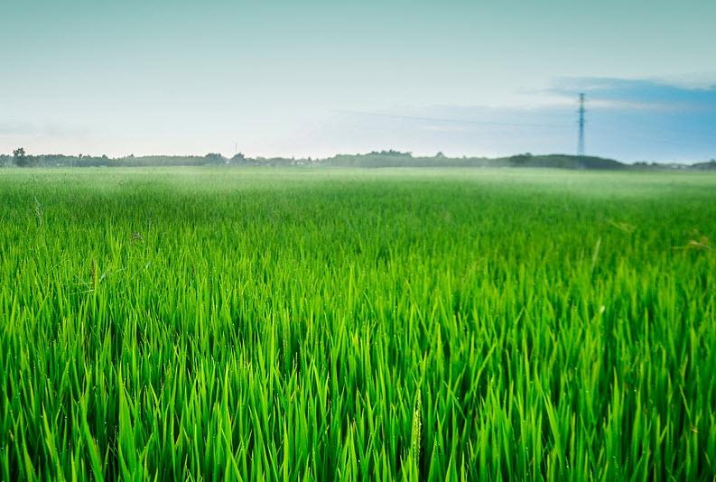 ta canh dong lua dang thi con cai hay nhat ngan gon - Tả cánh đồng lúa đang thì con cái hay nhất ngắn gọn